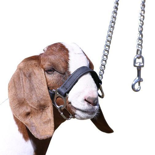View larger image of 1st Class Sheep Show Halter