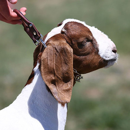 View larger image of Leather Goat Collar with Prongs
