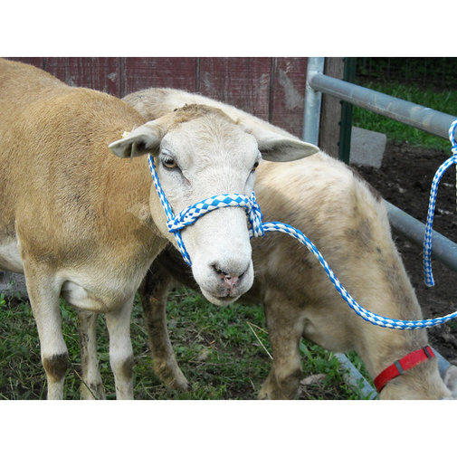 View larger image of Troyer Poly Sheep Halter