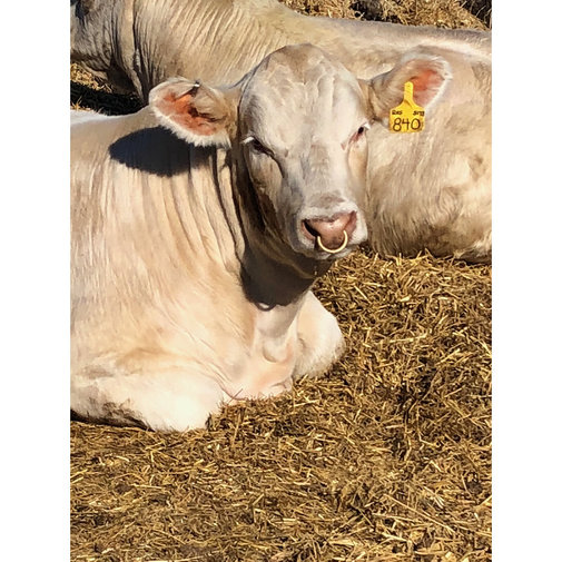 View larger image of Y-Tex Blank Cow Y-Tag Ear Tags